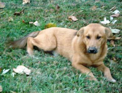 Goldendog1