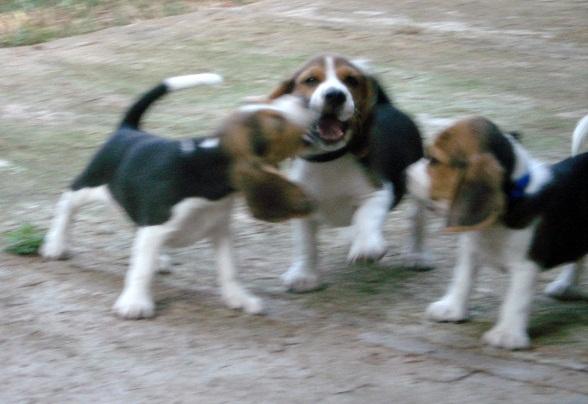 Beaglepups2