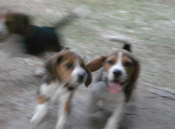 Beaglepups3